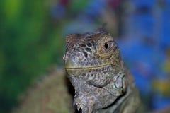 Zwyczajna iguana lub zielona iguana, jeste?my wielkim trawo?ernym jaszczurk?, prowadzi dziennego odrewnia?ego ?ycie E obraz royalty free