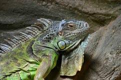 Zwyczajna iguana lub zielony iguany Lat, Iguany iguana jest wielkim trawożernym jaszczurką, prowadzi dziennego odrewniałego życie fotografia stock
