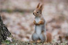 Zwyczajna Puszysta wiewiórka Śmiesznego Eurazjatyckiego Czerwonej wiewiórki Sciurus Vulgaris stojaki W jesieni ulistnieniu Blisko fotografia stock