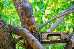 Zwyczajna wiewiórka jest pięknym rudzielec pochodzi wzdłuż gałąź karmowa synklina zdjęcia royalty free