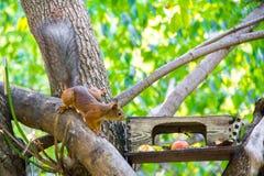 Zwyczajna wiewiórka jest pięknym rudzielec pochodzi wzdłuż gałąź karmowa synklina zdjęcia stock