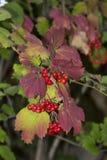 Zwyczajny czerwony viburnum Zdjęcia Royalty Free