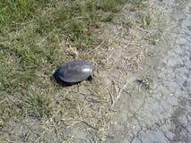 Zwyczajny rzeczny żółw Żółw w naturalnym siedlisku Fotografia Royalty Free