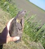 Zwyczajny rzeczny żółw Żółw w naturalnym siedlisku Obraz Royalty Free