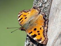 Zwyczajny urticaria motyl & x28; Łaciny Aglais urticae & x29; Fotografia Stock