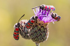Zygaena butterflies Royalty Free Stock Photo