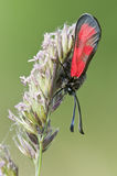 Zygaena butterfly Royalty Free Stock Photos