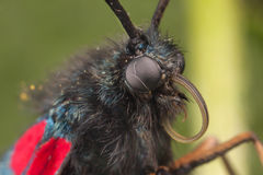 Zygaena butterfly Royalty Free Stock Image