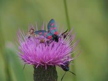 Zygaena butterfly Stock Image