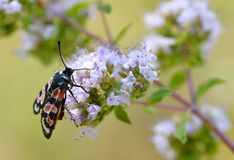 Zygaena butterfly on flower Stock Images