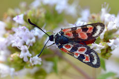 Zygaena butterfly on flower Royalty Free Stock Photo