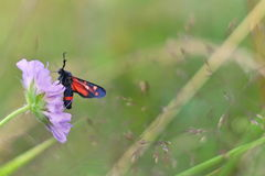 Zygaena ephialtes butterfly. Typical butterflies of middle european fields and meadows Royalty Free Stock Images