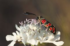 Zygaena fausta - butterfly royalty free stock photo