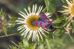Zygaena filipendulae,六斑点在老太婆蓟的Burnet蝴蝶 免版税库存图片