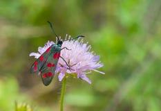 Zygaena filipendulae butterfly Royalty Free Stock Image