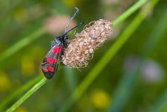 Zygaena filipendulae butterfly Stock Photo