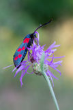 Zygaena filipendulae Royalty Free Stock Images