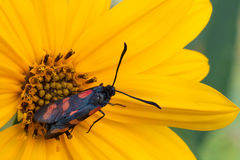 Zygaena filipendulae Stock Images