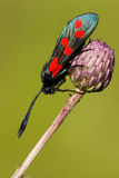 Zygaena filipendulae, Six-spot Burnet Royalty Free Stock Photography