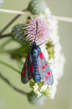 Zygaena filipendulae, the six-spot burnet Royalty Free Stock Photos