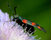 Zygaena filipendulae Royalty Free Stock Photos