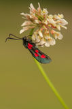 Zygaena lonicerae Stock Photo