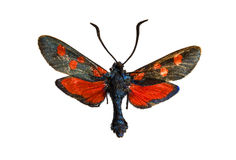 Zygaena nevadensis Stock Photos