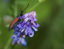 Zygaena purpuralis Royalty Free Stock Photos