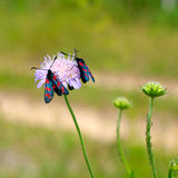 Zygaena romeo on a flower Royalty Free Stock Images