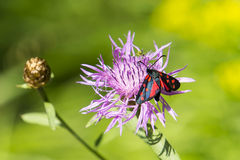 Zygaena. Small insect in violet flower Stock Image