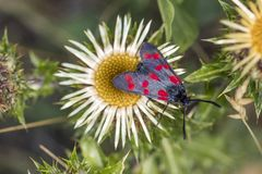 Zygaenafilipendulae, zes-Vlek Burnet-vlinder op Carline distel Royalty-vrije Stock Afbeeldingen