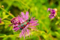 Zygaenidae del insecto Imagen de archivo libre de regalías