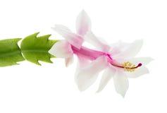 Zygocactus Photographie stock libre de droits