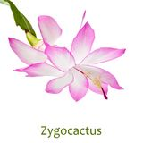 Zygocactus Royalty Free Stock Images