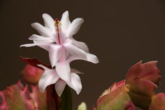 Zygocactus per natale Fotografia Stock