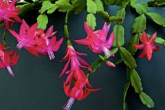 Zygocactus rose de Truncata de Schlumbergera de cactus de vacances de crabe de cactus de thanksgiving de cactus de Noël Image libre de droits