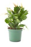 Zygocactus truncatus Stock Images