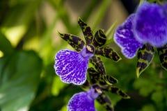 Zygopetalum orchidea Zdjęcie Stock
