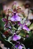 Zygopetalum-Orchideenanlage mit den grünen und purpurroten Blüten Stockfoto