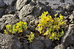 Zygophyllum fontanesii, Lanzarote Island, Canary Islands, Spain Royalty Free Stock Photography