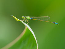 Zygoptera Stock Images