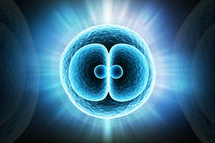 Zygote Cell Stock Images