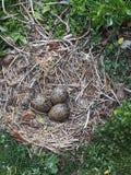 Zyklus des Lebenvogelei-Naturnestes stockbild