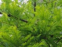 Zypern-Baum Stockfoto