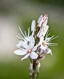 Zypern-Winter-Blume Lizenzfreie Stockfotos