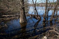 Zypresse auf einem Sumpf Stockfoto