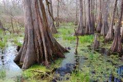 Zypresse-Bäume lizenzfreies stockbild
