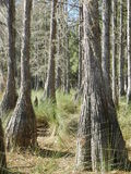 Zypresse-Bäume Stockfotografie