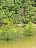 Zypresse-Bäume Stockbilder