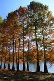 Zypresse-Bäume auf Flussbank Stockbilder